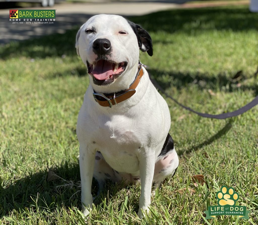 Sophia a 3-year-old #dalmatianmix had a great lesson today. No more barking and excessive excitement when the doorbell rings and no more pulling and lunging when on a walk. #whiskeycreek #fortmyers #speakdogchangeyourlife #fortmyersk9 @fortmyersk9 fortmyersk9.com