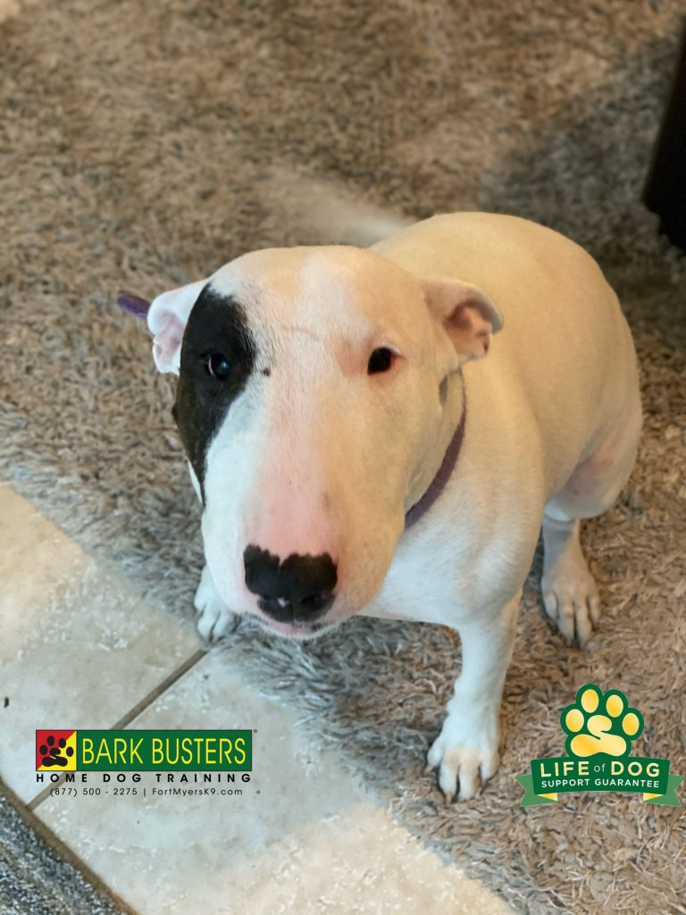 Eli is a wonder 4-year-old #englishbullterrier and she learned to not answer the door or pull on the leash today. #speakdogchangeyourlife #fortmyers #fortmyersk9 @fortmyersk9 fortmyersk9.com