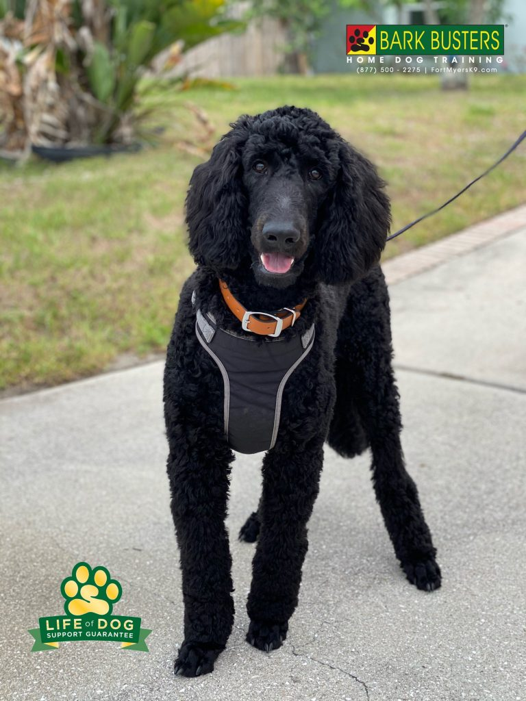 Ruger a 6-month-old #standardpoodle #poodle had a great lesson today learning to be calm when the doorbell rings and walk on a loose leash. #sancarlos #sancarlospark #fortmyers #fortmyersk9 #speakdogchangeyourlife @fortmyersk9 fortmyersk9.com
