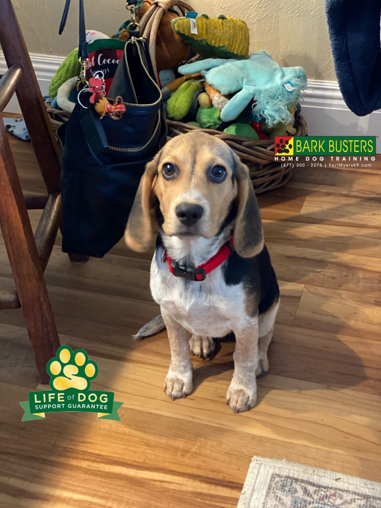 Molly a 4-month-old #beagle is off to a great start and showed up her big sister, Lucy a #cockapoo who will need a little bit more work! Stay tuned! #fortmyers #fortmyersk9 #speakdogchangeyourlife @fortmyersk9 fortmyersk9.com