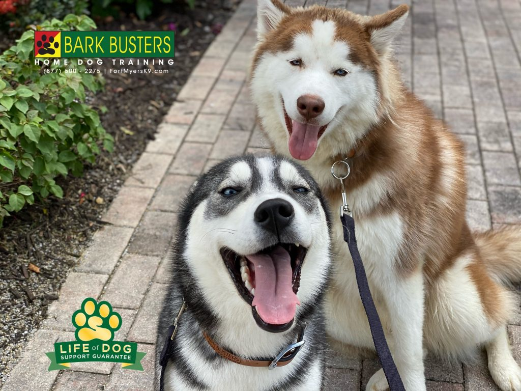 Aria and Beau #siberianhusky #husky had a great lesson today learning to be calm inside and on leash. No more lunging at other dogs and rabbits! #speakdogchangeyourlife #paseo #paseofortmyers #gartner #fortmyers #fortmyersk9 @fortmyersk9 fortmyersk9.com