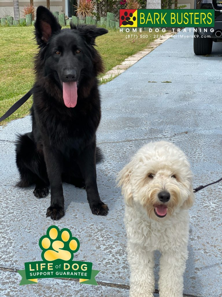 Sasha #germanshepherd and Milo #goldendoodle #groodle finally got their parents trained on how to keep them calm inside the home and outside on walks. #speakdogchangeyourlife #capecoral #fortmyers #fortmyersk9 @fortmyersk9 fortmyersk9.com