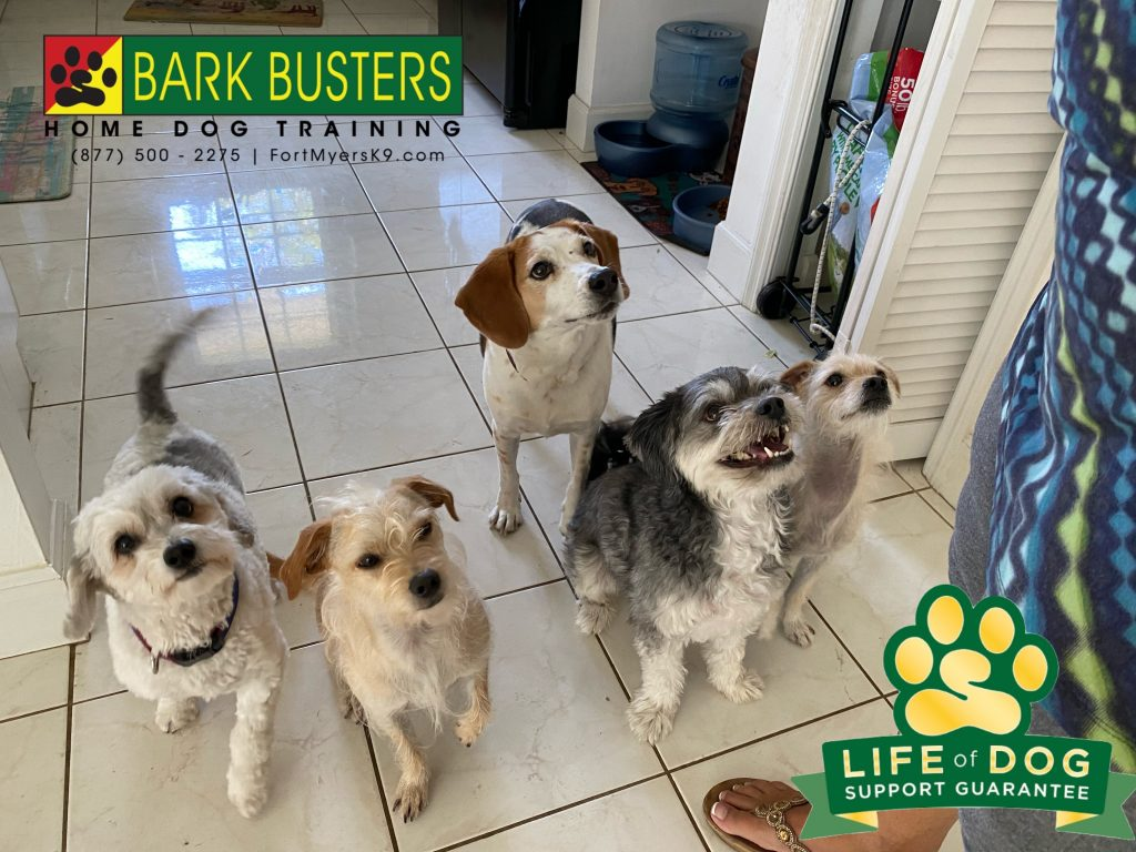 Lucky #havanese Barney #cairnmix Louie #beagle #Smokey #havanese and Bailey #cairnmix were all retired from guard duty. They can now relax and enjoy Florida knowing mom is in charge. No more excessive barking. #speakdogchangeyourlife #bonitasprings #fortmyersk9 @fortmyersk9 fortmyersk9.com