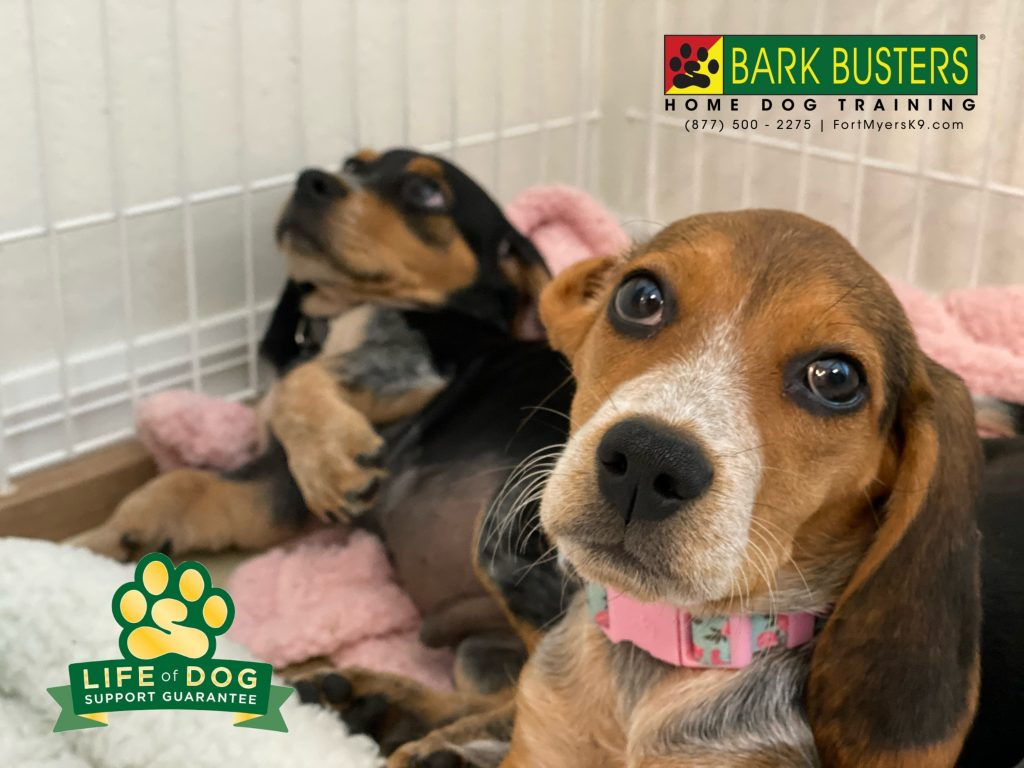 Bo and Ella #beagle #beaglepuppy got their parents trained to #speakdogchangeyourlife and now everyone is much happier. #babcockranch #babcockranchflorida #fortmyersk9 @fortmyersk9 fortmyersk9.com