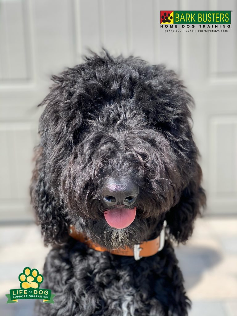 Bo #labradoodle had a great lesson today. Took care of his mom's wish list of walking on a loose leash and remaining calm when the doorbell rings. #speakdogchangeyourlife #fortmyersk9 #fortmyers @fortmyersk9 fortmyersk9.com