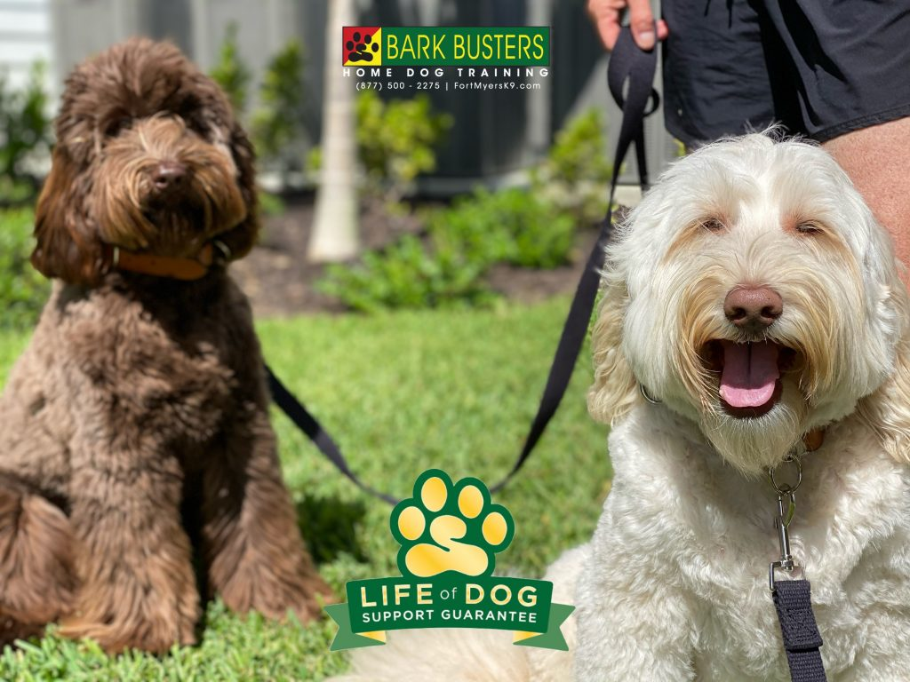 Juliet and Romeo #australianlabradoodle learned to remain calm when guests come over and when on leash when they see other dogs, bikes and golf cars. Even though we were their 3rd trainer, we will be their last trainer. #speakdogchangeyourlife #babcockranch #fortmyersk9 @fortmyersk9 fortmyersk9.com