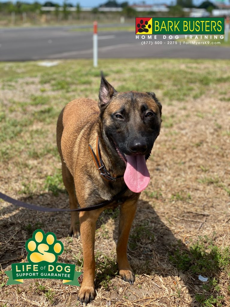 Coco the #belgianmalinois learned to remain calm when people come to visit and to walk on a loose leash. #speakdogchangeyourlife #capecoral #fortmyersk9 @fortmyersk9 fortmyersk9.com