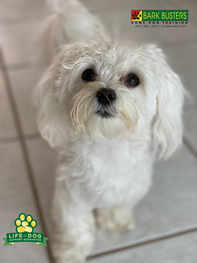 Teddy #maltese is 1/3 of the dogs we had the opportunity to help today. The pack's issue was lack of manners including turning pants into capris! #speakdogchangeyourlife #spanishwells #fortmyersk9 @fortmyersk9 fortmyersk9.com