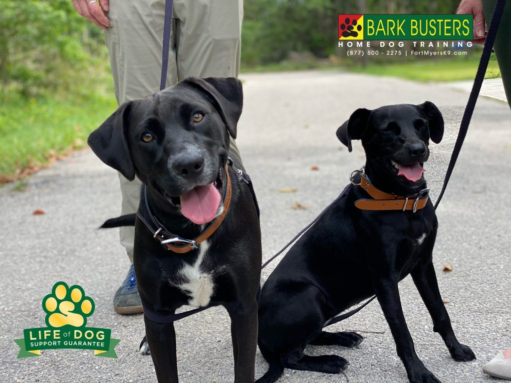 Ruby and Reyna, sisters from another mister had a great lesson learning to be calm coming into the home and out on walks. #speakdogchangeyourlife #briarcliff #fortmyers #fortmyersk9 @fortmyersk9 fortmyersk9.com