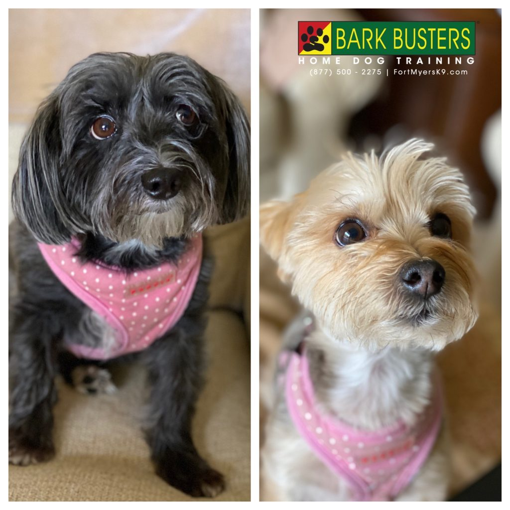 Lily and Leia #morkie sisters learned to not be 🦇 💩 😜 when the doorbell rings. Stay tuned for the video! #speakdogchangeyourlife #belltower #fortmyersk9 fortmyersk9.com