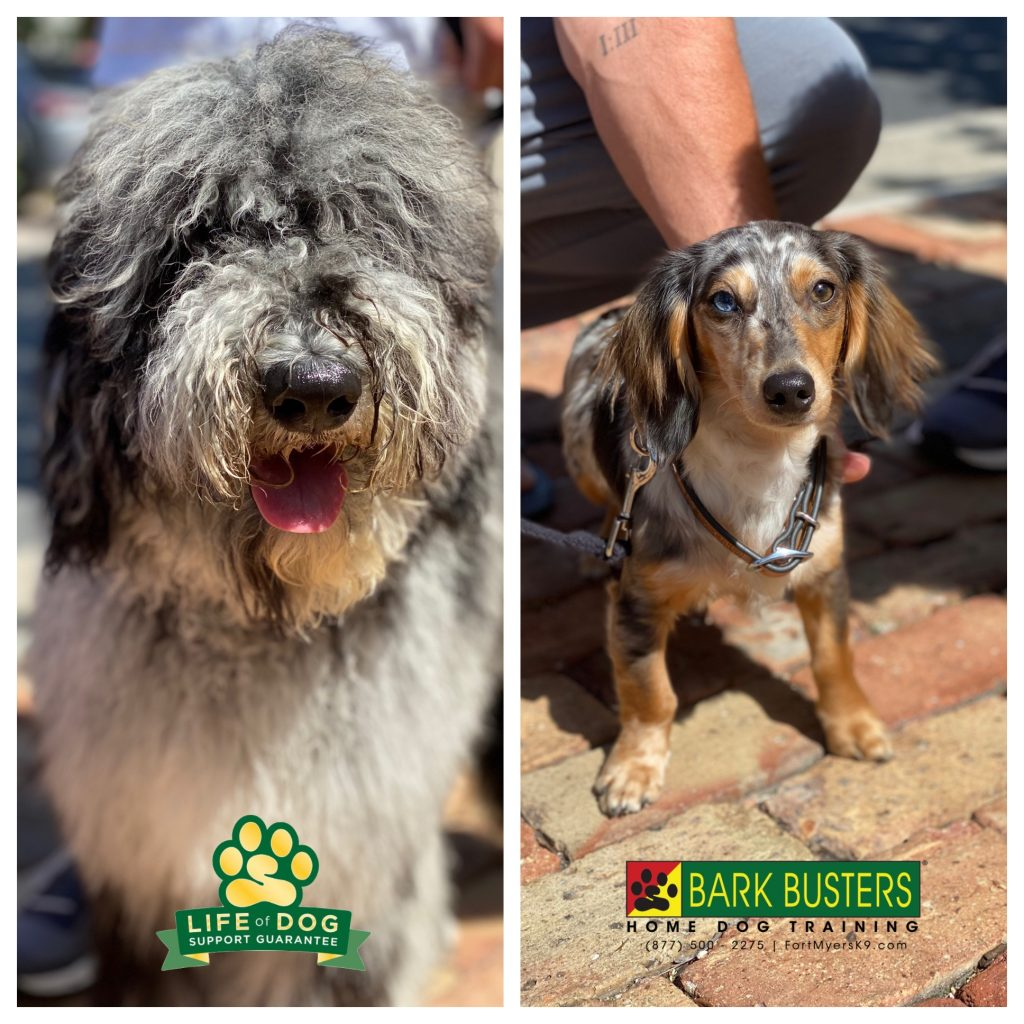 Reggie #portuguesewaterdogpoodle and Winston #miniaturedachshund #dachshund had a great lesson today learning to be calm and relaxed inside and out on a leash. #speakdogchangeyourlife #fortmyers #fortmyersk9 @fortmyersk9 fortmyersk9.com
