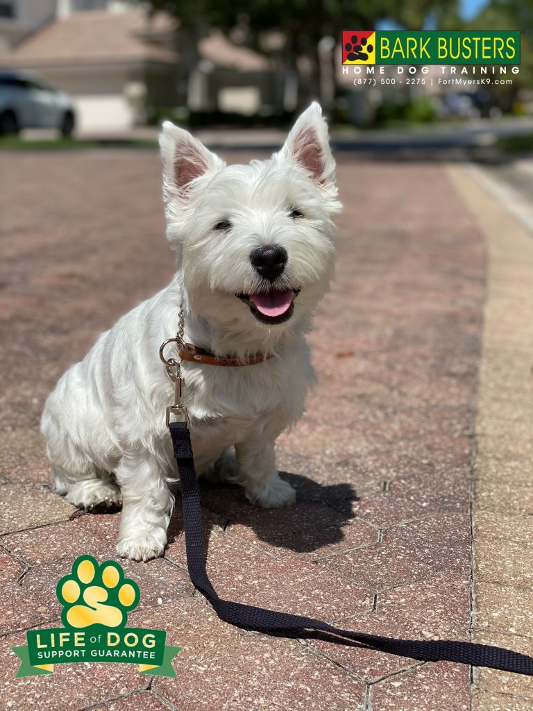 Gracie Tee #westhighlandterrier #westie had her first lesson today with #barkbusters #fortmyersk9 today. No more excessive barking, jumping or pulling on the leash. #speakdogchangeyourlife #miromarlakes @fortmyersk9 fortmyersk9.com