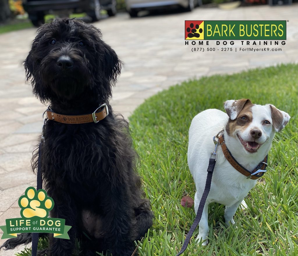 Sassy #labrdoodle and T-Bone #jackdachshund had a great lesson today learning to be less jumpy and mouthy when guests visit and also with their human little brother. #speakdogchangeyourlife #wildcatrun #estero #fortmyersk9 @fortmyersk9 fortmyersk9.com