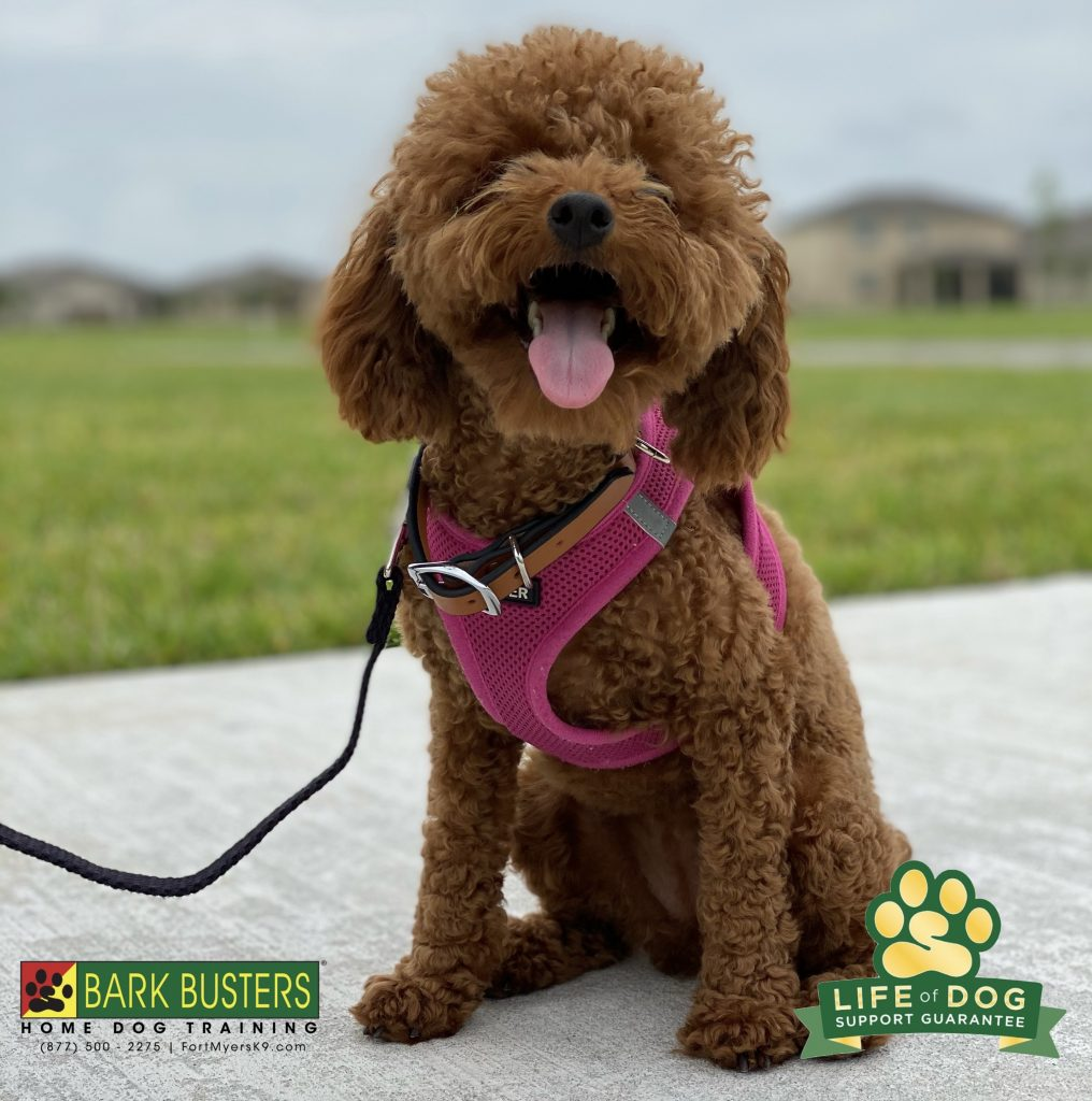 Chewy the #cavadoodle had 6 puppy lessons, 6 intermediate lessons which lead her mom to #barkbusters #fortmyersk9 and after ONE ☝️ lesson there is no more barking and charging the door or pulling on the leash. #speakdogchangeyourlife #buckingham #fortmyers @fortmyersk9 fortmyersk9.com