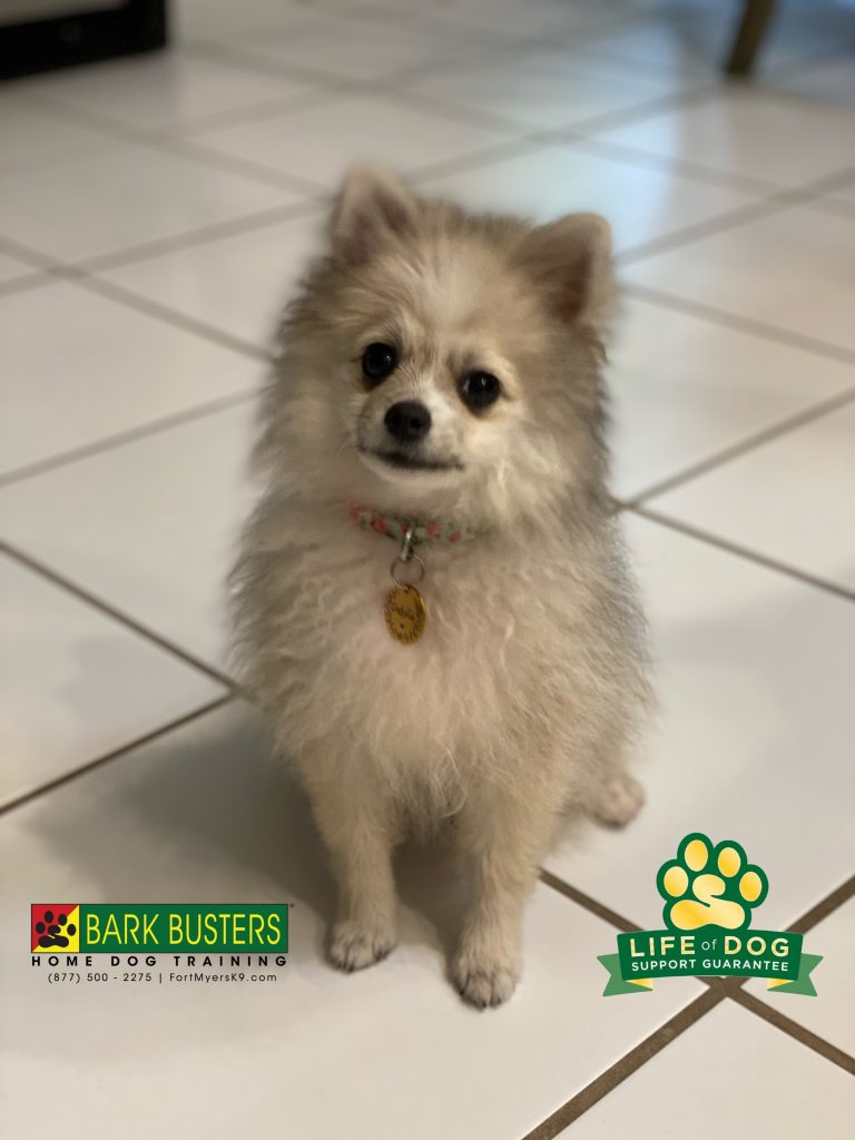 Dakota #pomeranian is of to a great start for just 4-months of age. #eagleridge #fortmyers #fortmyersk9 @fortmyersk9 #speakdogchangeyourlife fortmyersk9.com
