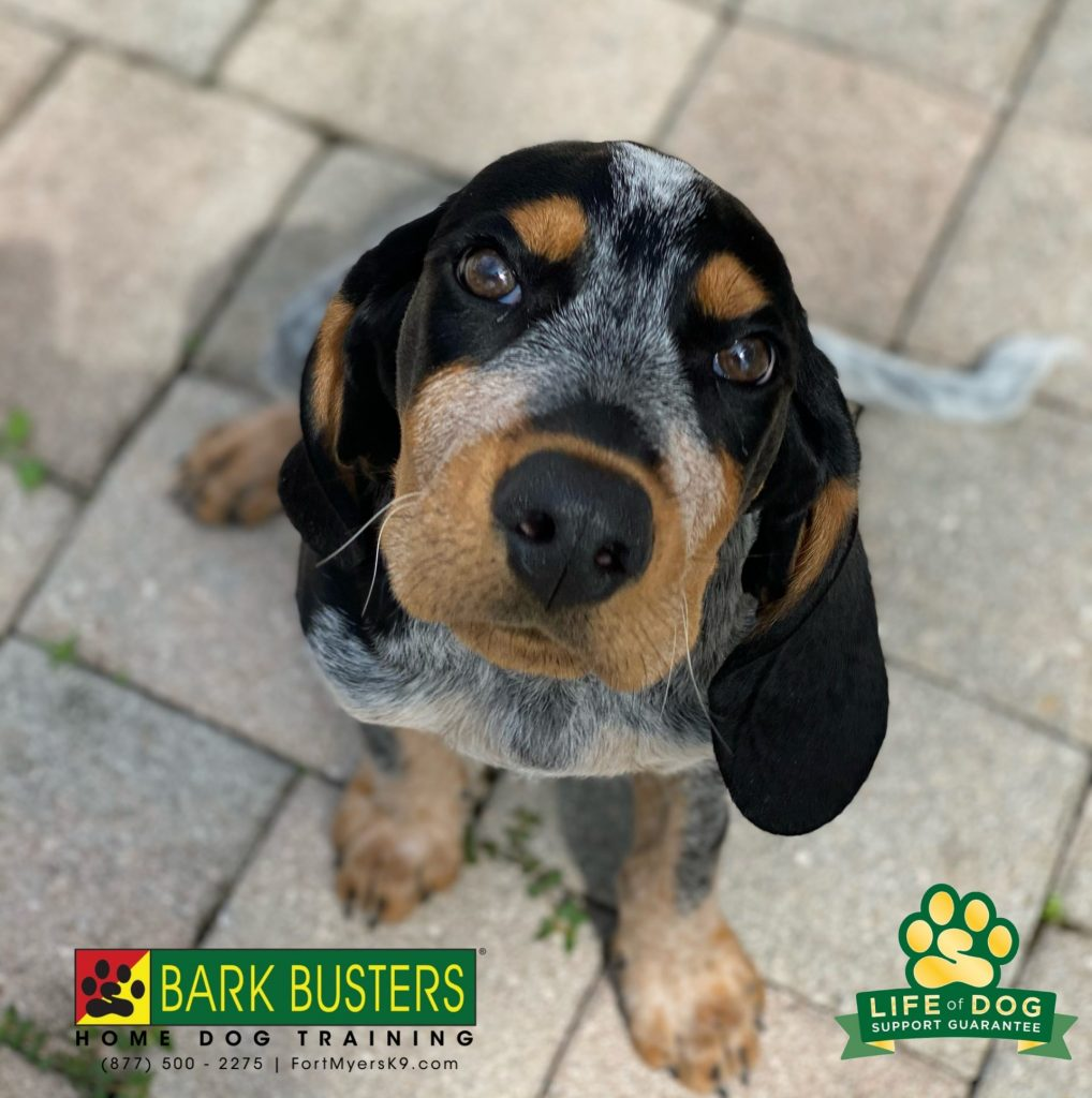 Zeppelin #bluetickcoonhound is soaring! Great lesson today at just 10-weeks. Learning to not chew or jump and lots of toilet training tips for his mom to implement. #speakdogchangeyourlife #fortmyersk9 @fortmyersk9 fortmyersk9.com