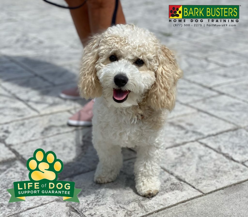 Steele the #boodle #poochon had his first lesson today. No more barking, jumping and nipping when people come to visit. Loose leash walking? Of course! #speakdogchangeyourlife #capecoral #royaltee #fortmyersk9 @fortmyersk9 fortmyersk9.com