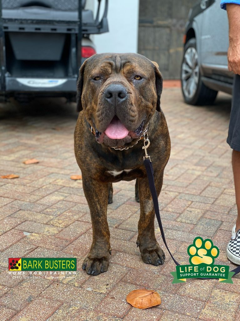Congo #southafricanboerboel #boerboel is still a just a pup and doing pup things. But at 140 lbs he is a big deal. #speakdogchangeyourlife #captiva #fortmyersk9 #fortmyers @fortmyersk9 fortmyersk9.com