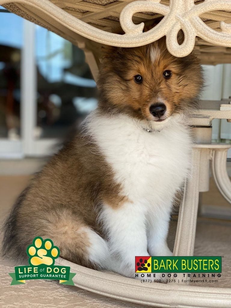 Laddie Boy #shetlandsheepdog is just 11-weeks-old and off to a great start and his mom is grateful her flip flops are now safe. #speakdogchangeyourlife #fortmyers #fortmyersk9 @fortmyersk9 fortmyersk9.com