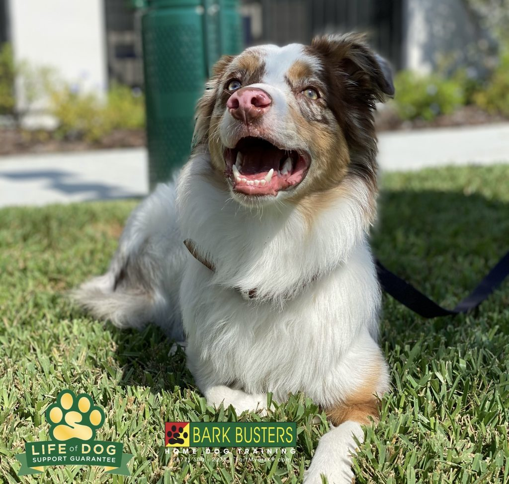 Charlie a 1-year-old #miniaussie #miniatureaustralianshepherd had a great lesson today learning to be calm, not jump or counter surf and to walk on a loose leash. #miromarlakes #fortmyers #fortmyersk9 #speakdogchangeyourlife @fortmyersk9 fortmyersk9.com