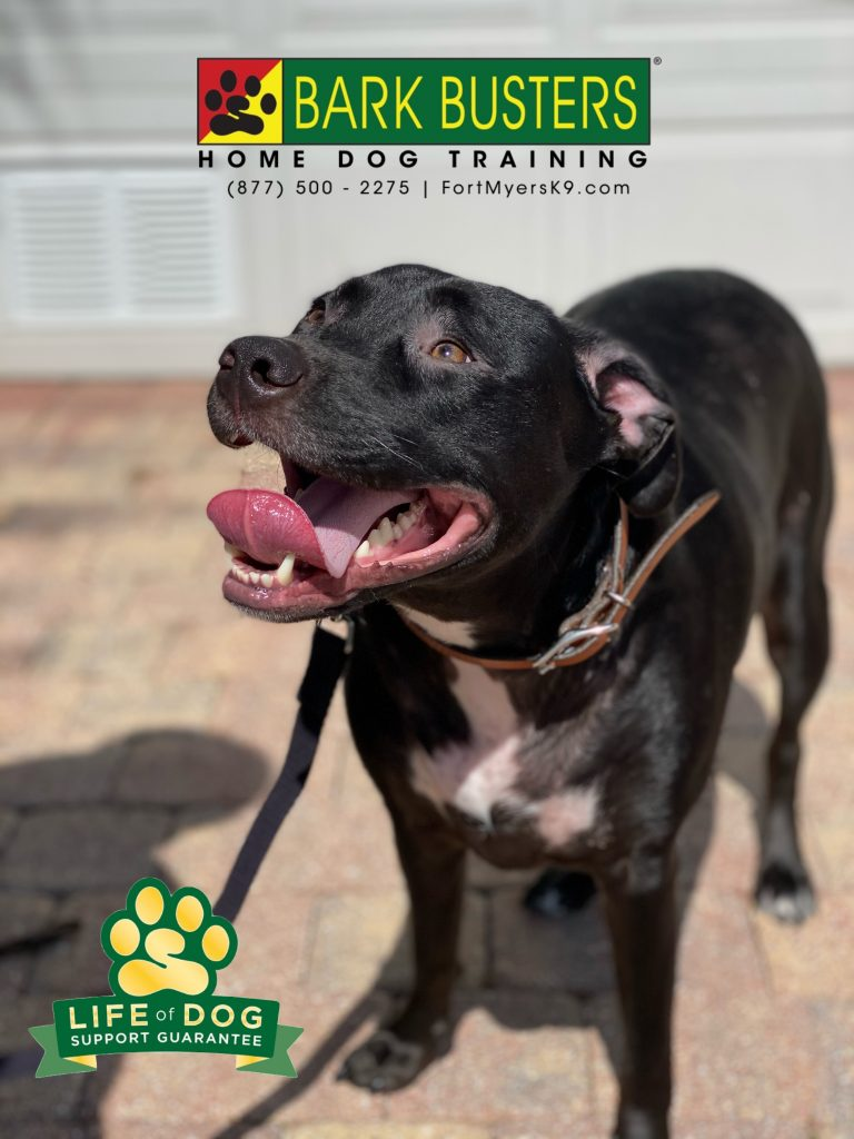Oreo #labmix needed his mom to properly tell him to calm down, walk on a loose leash and be nice when visitors call. #speakdogchangeyourlife #islandwalk #bonitasprings #fortmyersk9 @fortmyersk9 fortmyersk9.com