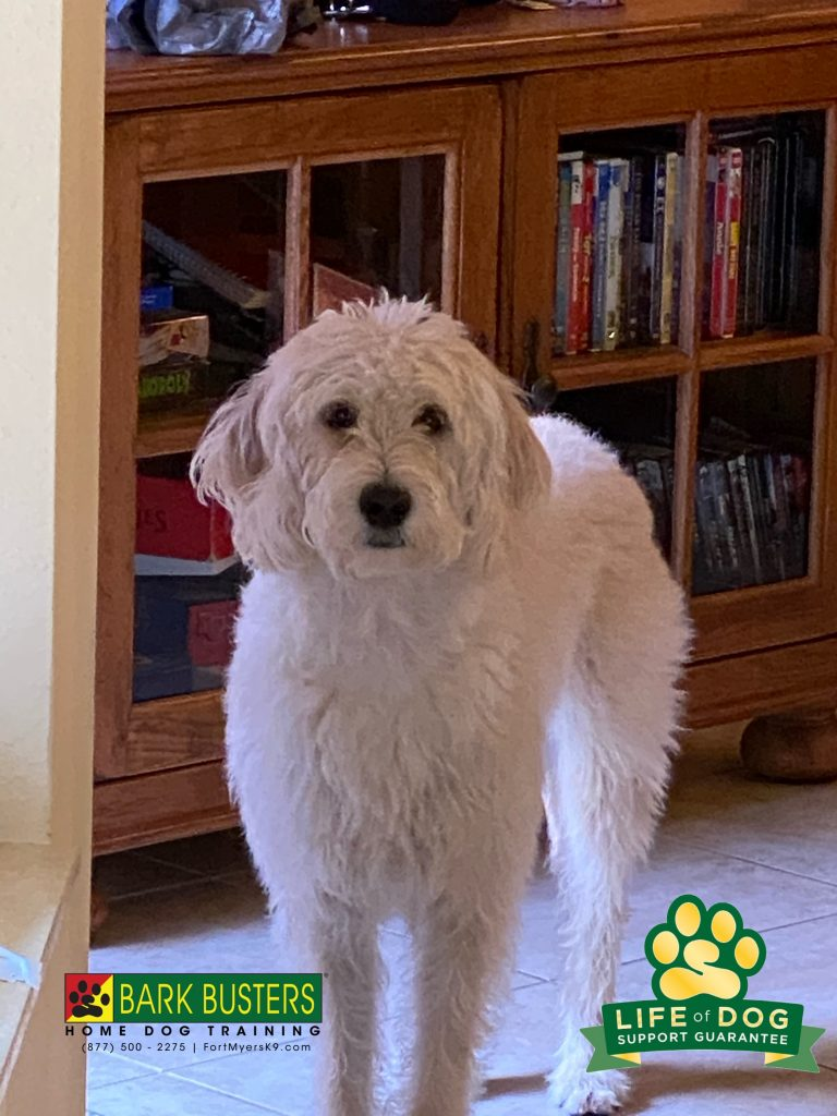 Sunshine aka Sunny is a bouncing and vocal #labradoodle who is less so after her parents learned to #speakdogchangeyourlife @botanicalakeshoa #botanicalakes #fortmyersk9 @fortmyersk9 fortmyersk9.com