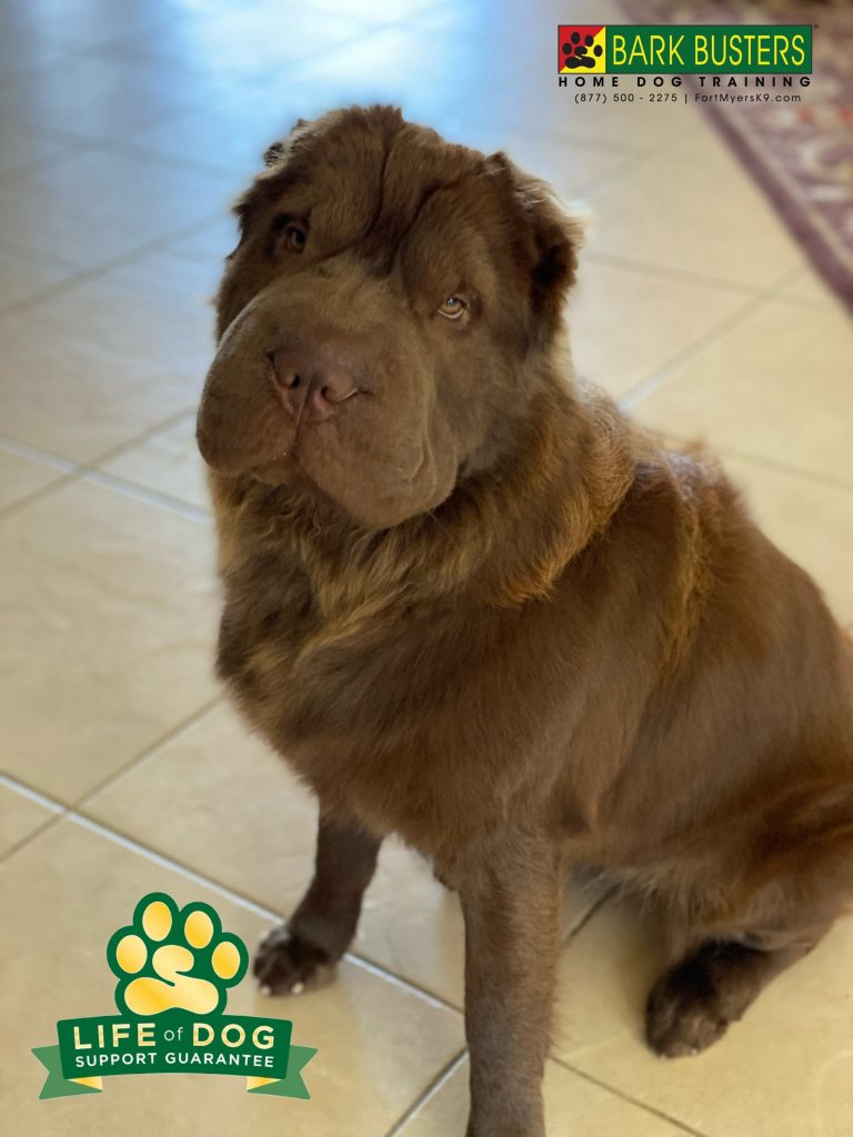 Coco Puff the #sharpei is throughly awesome. Best #sharpei ever. Great lesson. Crushed front door manners. #speakdogchangeyourlife #capecoral #fortmyersk9 @fortmyersk9 fortmyersk9.com