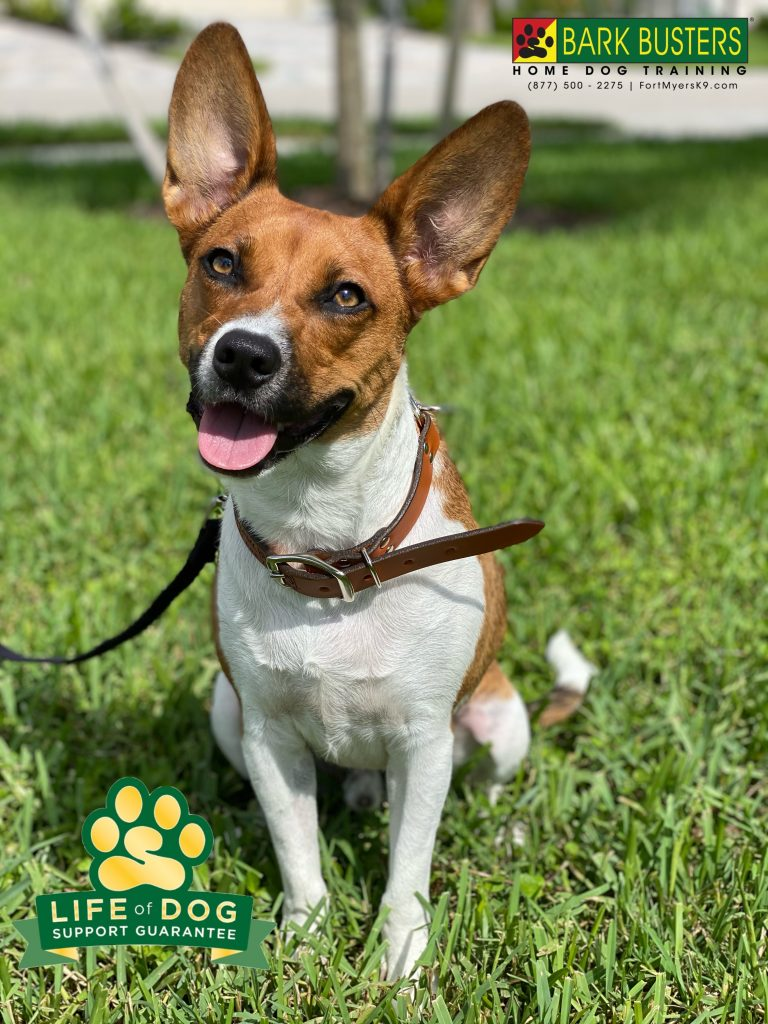 Benji a #beaglemix #besenjimix had a great lesson today learning to be calm for visitors and on leash. #speakdogchangeyourlife #fortmyersk9 #fortmyers @fortmyersk9 fortmyersk9.com