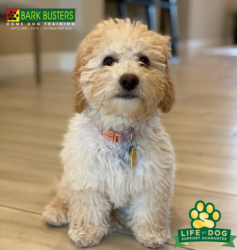 Marley #minigroodle #miniaturegoldendoodle had her first lesson at 4-months-old. Learning to be calm with her human brother and sister, answering the front door and staying away from the high chair until invited to cleanup. #hamptonpark #gateway #fortmyers #fortmyersk9 #speakdogchangeyourlife @fortmyersk9 fortmyersk9.com