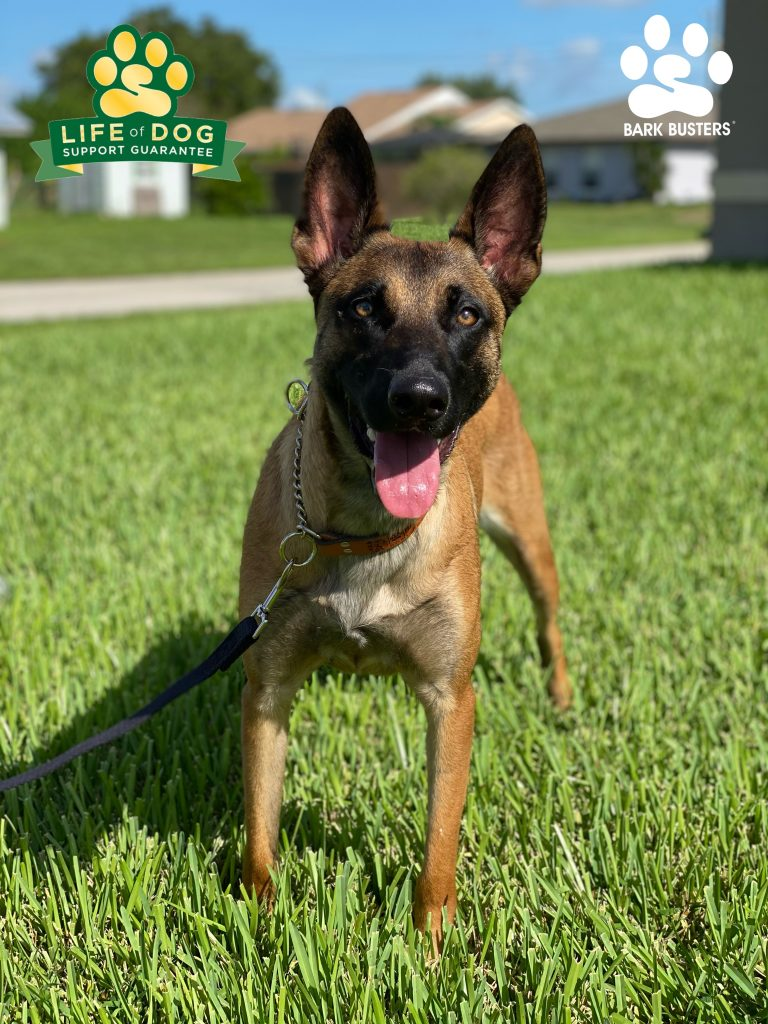 Freya #civilianfurmissle #belgianmalinois #malinois had a great lesson today learning to walk on a loose leash and be respectful at the front door. #lehighacres #fortmyers #fortmyersk9 #speakdogchangeyourlife @fortmyersk9 fortmyersk9.com