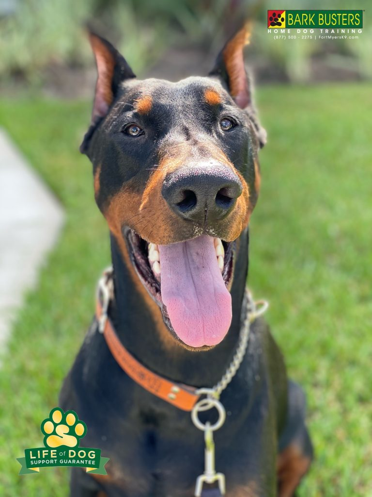 Boss is a 110# #doberman #dobermanpinscher mixed with GIANT marshmallow. What a softie. While more work is to be done, we got him waking on a loose leash after his first 10-months pulling. #speakdogchangeyourlife #capecoral #fortmyersk9 @fortmyersk9 #dogsofbarkbusters fortmyersk9.com
