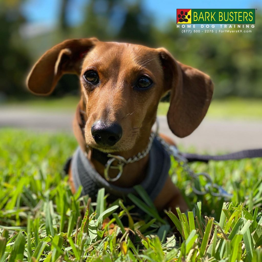 Simba a 7-month-old #miniaturedachshund #minidachshund #minidax had a great lesson today on #sanibel learning to be calm when people visit an on leash. #speakdogchangeyourlife #fortmyersk9 @fortmyersk9 fortmyersk9.com
