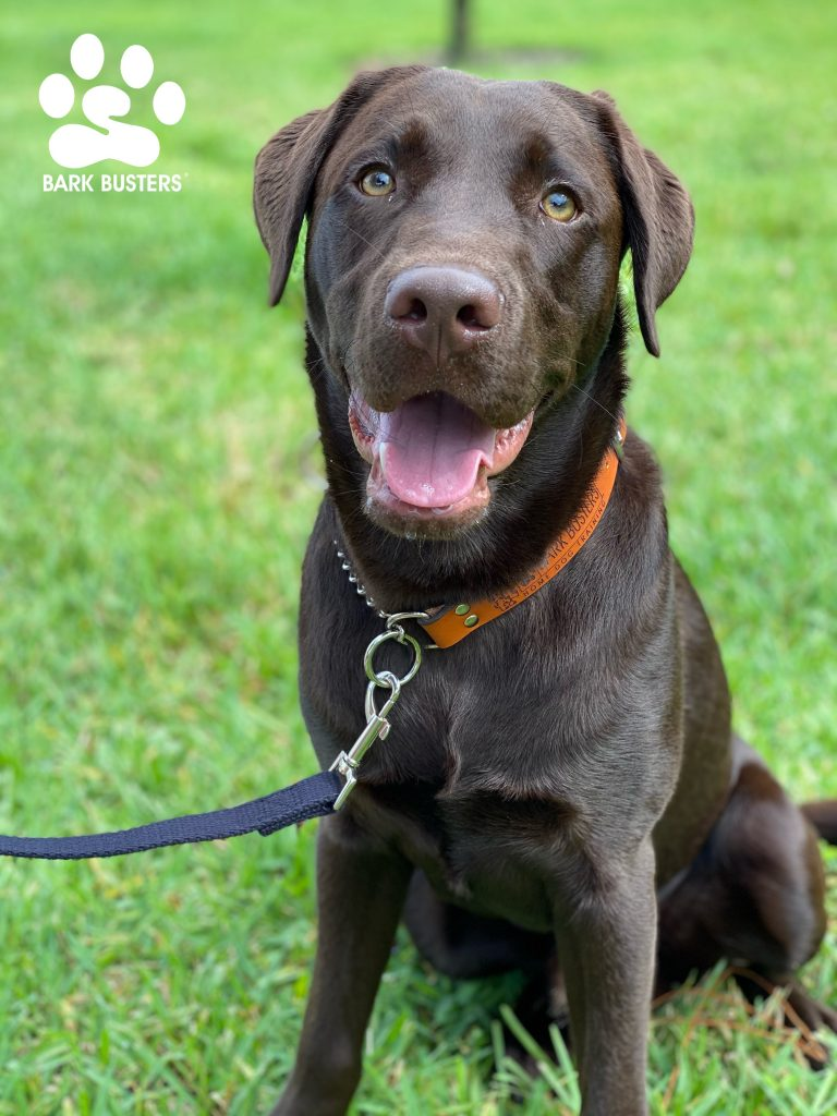 Hank a #chocolatelab had a great lesson today being chill, inside and outside on leash, and not being as intense or protective when eating. #speakdogchangeyourlife #fortmyers #fortmyersk9 @fortmyersk9 fortmyersk9.com