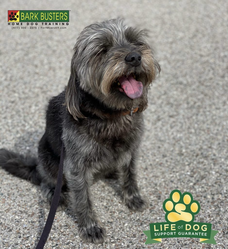 Allie a 10-year-old #schnauzermix needed to learn to be more calm and accepting of her human baby sister. Amazing things happen when you #speakdogchangeyourlife #sansimeon #fortmyers #fortmyersk9 @fortmyersk9 fortmyersk9.com