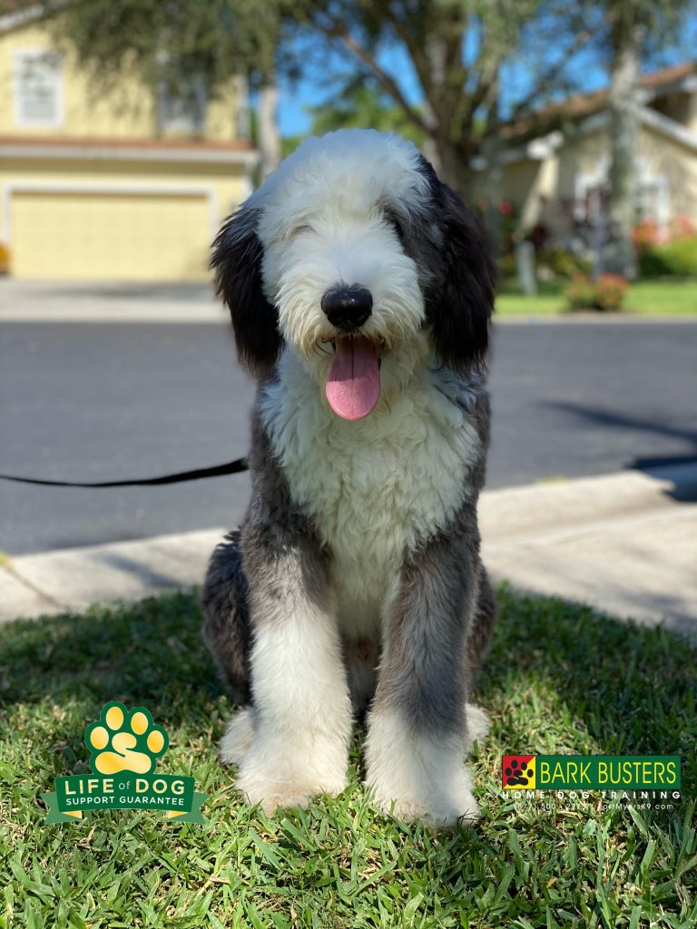 Wilbur a 6-month-old #oldenglishsheepdog had an AMAZING lesson today. No more lunging and pulling on the leash and better manners inside the home too! #speakdogchangeyourlife #danielspark #fortmyers #fortmyersk9 @fortmyersk9 fortmyersk9.com