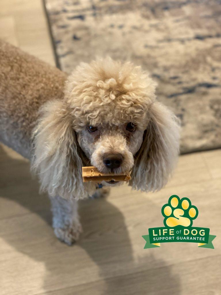 Buster's barking and jumping have been busted by #barkbusters #minipoodle #miniaturepoodle #speakdogchangeyourlife #estero #fortmyers #fortmyersk9 @fortmyersk9 fortmyersk9.com
