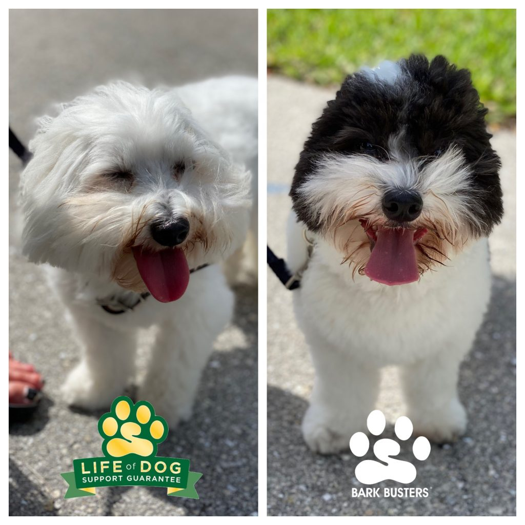 Oliver and Bogart #cotondetulear had some exuberant greeting issues which we sorted out in one lesson of about 2 hours. #speakdogchangeyourlife #sanibelisland #sanibel #fortmyersk9 @fortmyersk9 fortmyersk9.com