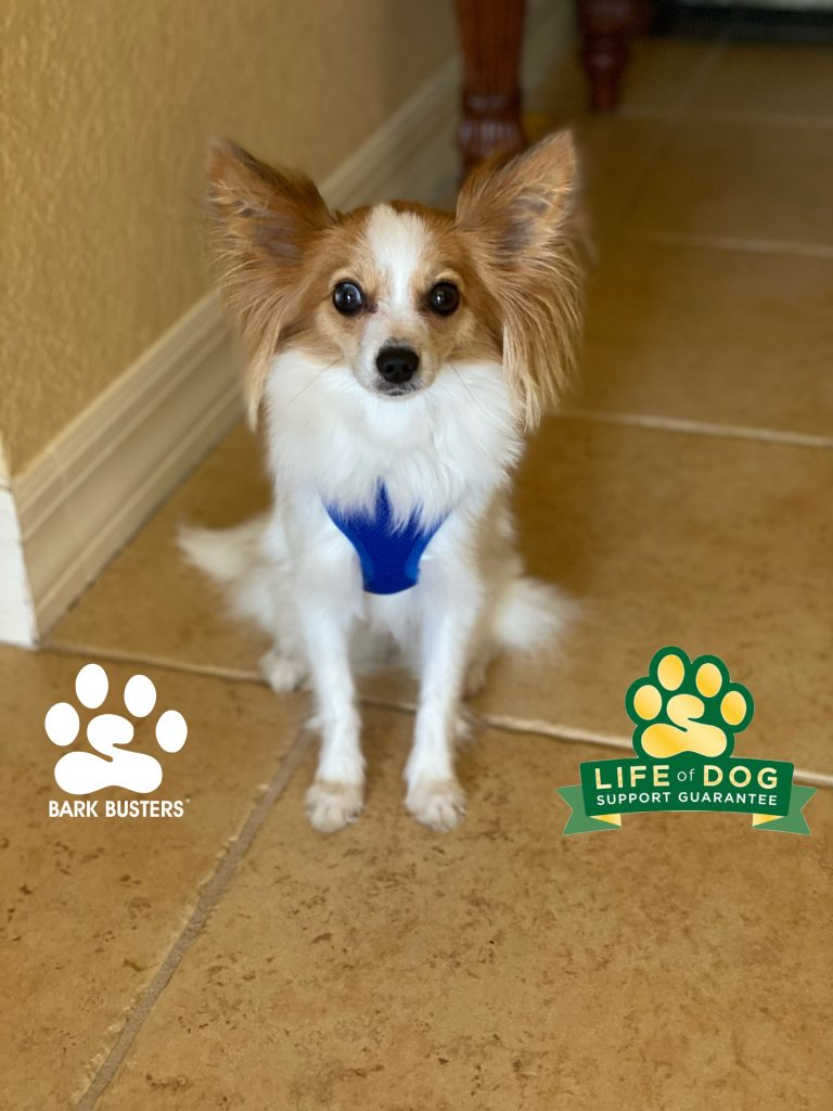 Naomi the #papillon is off to a great start to being more calm and relaxed. #speakdogchangeyourlife #capecoral #fortmyersk9 @fortmyersk9 fortmyersk9.com
