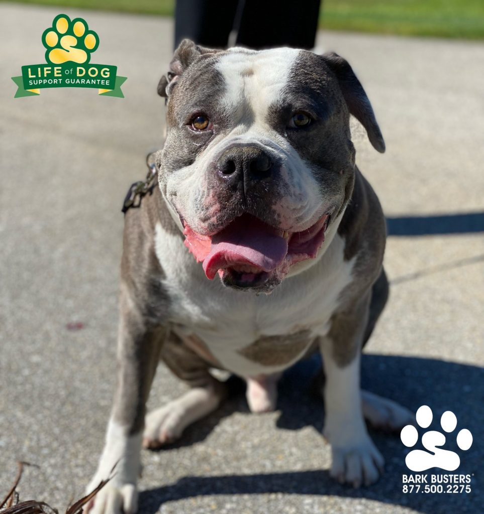 Dexter, a 7-year-old #americanbully #americanbulldog , had a great lesson learning front door and leash manners. #speakdogchangeyourlife #capecoral #fortmyers #fortmyersk9 @fortmyersk9 fortmyersk9.com