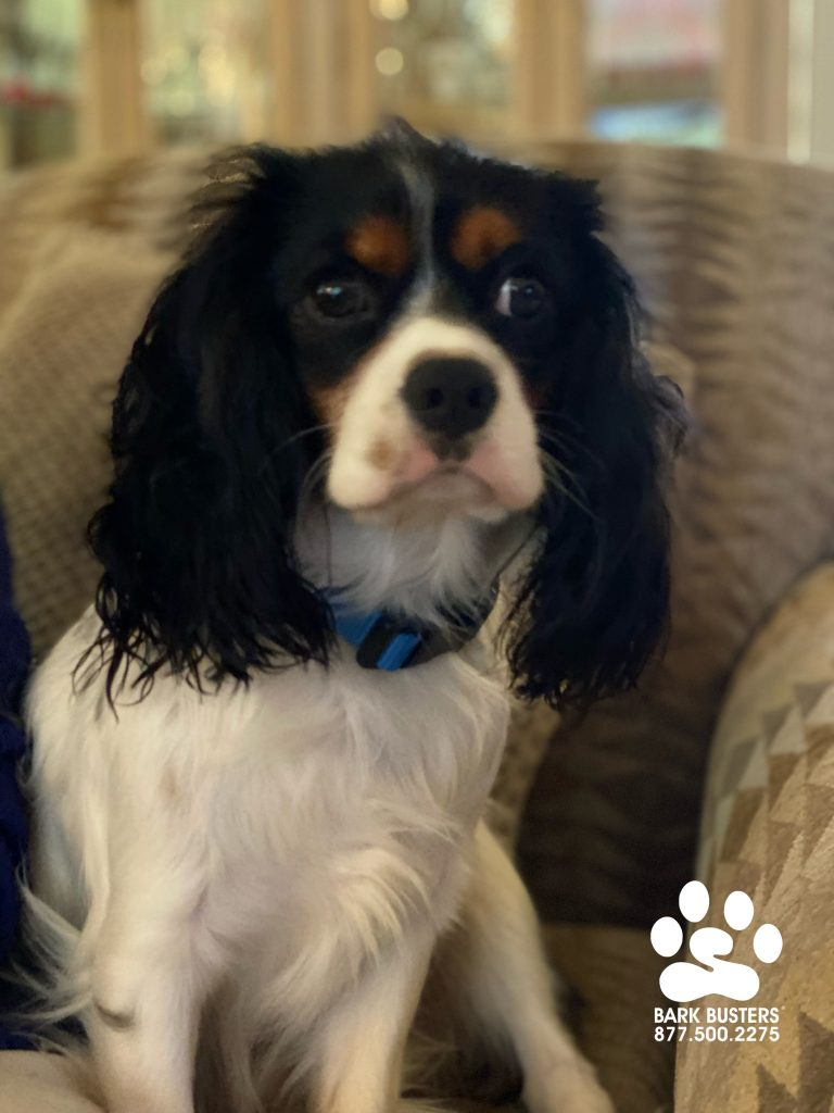 Romeo the #cavalierkingcharlesspaniel #cavalier was a true gentleman and his mom feel in love with him all over again without tombs, poison or bloodshed. #shakespeare #speakdogchangeyourlife #estero #fortmyersk9 @fortmyersk9 fortmyersk9.com