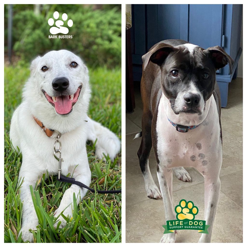 Forest #bordercolliemix #blueheelermix and also #deafdog and his sister Willow a #mutt had a great lesson. They are now hanging out together, walking perfectly, and thrilling their Mom with calmness and sibling harmony. #corkscrewshores #estero #speakdogchangeyourlife #fortmyersk9 @fortmyersk9 fortmyersk9.com