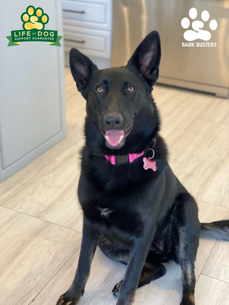 Natty the #gsdmix #germansheperdmix had a great lesson today learning to be more calm and relaxed! #speakdogchangeyourlife #estero #fortmyersk9 fortmyersk9.com